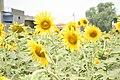 Cjsun flower.jpg