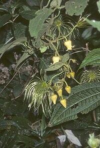 Clematis lechenaultiana.jpg