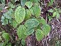 Clidemia hirta-2-braemore-kerala-India.jpg