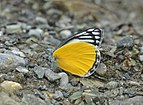 Close wing position of Delias agostina Hewitson, 1852 – Yellow Jezebel WLB DSC 0416.jpg