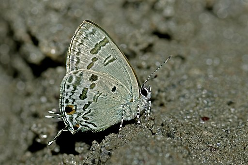 Close wing position of Hypolycaena kina