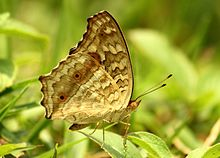 Close wing position of Junonia hierta Fabricius, 1798 - Yellow pansy WLB.jpg