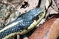 Coast gartersnake Thamnophis elegans terrestris.jpg