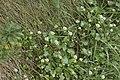 Cochléaire du Danemark (Cochlearia danica)-0053.jpg