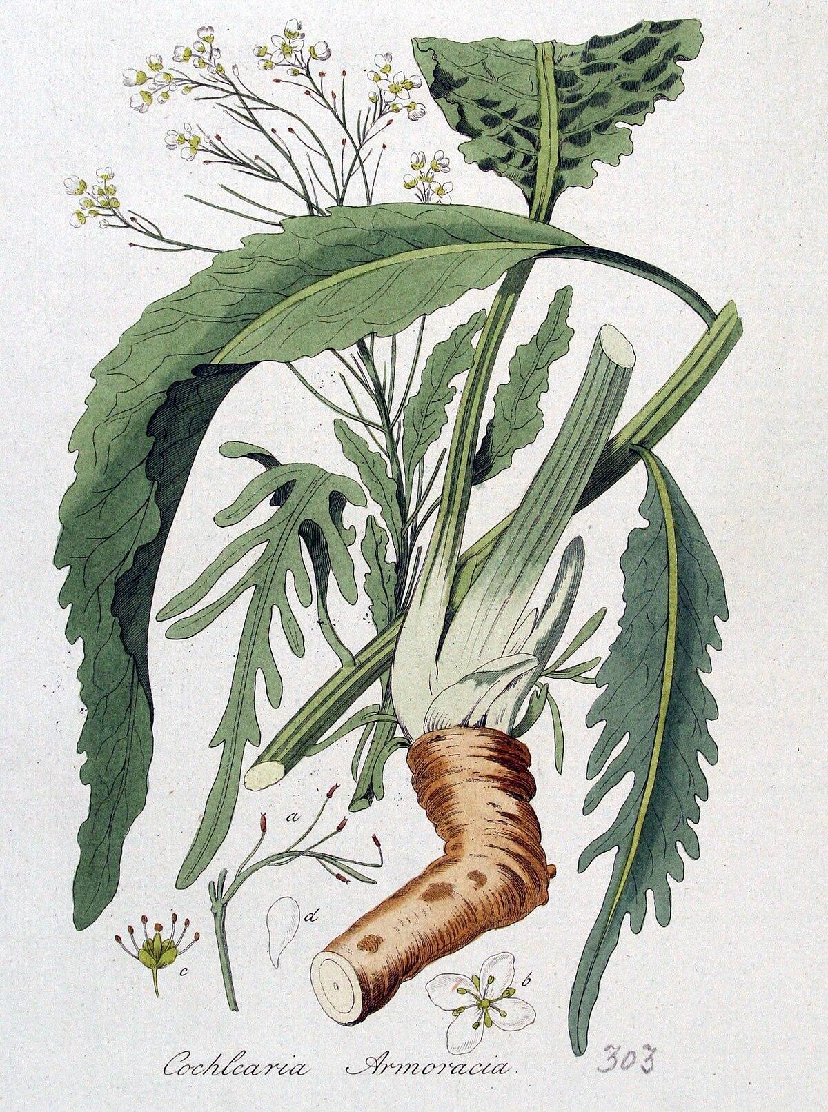 Armoracia - Wikipedia