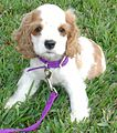 Cocker Spaniel Puppy.jpg
