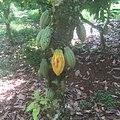 Cocoa 004.jpg