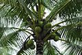 Coconut trees (15).JPG