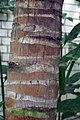Cocos nucifera 3zz.jpg