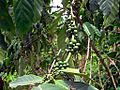 Coffee Beans (21679786518).jpg
