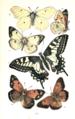Colemans British Butterflies Plate III.png