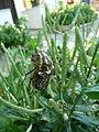 Coleoptera 1280217.JPG