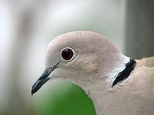Eurasian collared dove - Profile of a collared dove