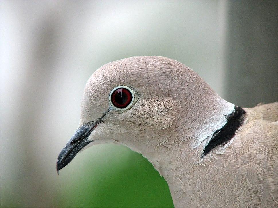 Collared Dove -upper body profile-8