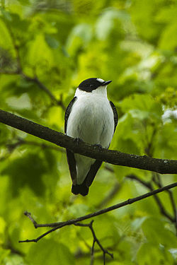 Collared Flycatcher - HungaryCS4E4261 (19137083370).jpg