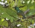 Collared Sunbird (Anthodiaeta collaris) (22574638245).jpg