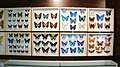 Collection of butterflies - panoramio.jpg