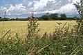 Colourful footpath margin beside wheat field - geograph.org.uk - 888805.jpg