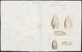 Coluber severus - kop - 1700-1880 - Print - Iconographia Zoologica - Special Collections University of Amsterdam - UBA01 IZ12100078.tif
