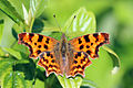 Comma butterfly (Polygonia c-album) 2.jpg