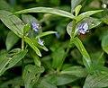 Commelina diffusa W IMG 2148.jpg