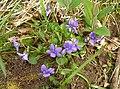 Common Dog Violet (Viola riviniana) - geograph.org.uk - 421761.jpg