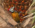 Common Flameback , male (Dinopium javanense) - Flickr - Lip Kee.jpg