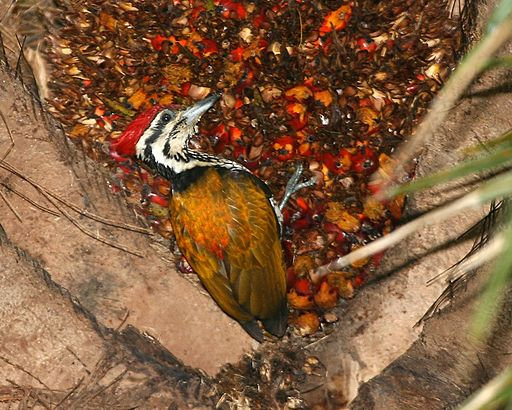 Common Flameback , male (Dinopium javanense) - Flickr - Lip Kee