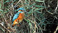 Common Kingfisher, Israel (15625941888).jpg