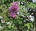 Common Lilac Syringa vulgaris 'Marechal Foch' Flowers.JPG