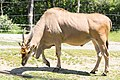Common eland, Tennoji Zoo (35083581271).jpg