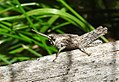 Common field grasshopper (28455192645).jpg