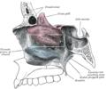 Conchanasalismedius.PNG