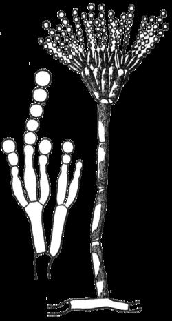 konidium  svampgrupper   u2013 wikipedia