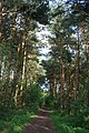 Conifers in Twemlows Big Wood - geograph.org.uk - 791149.jpg