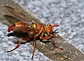 Conopid Fly (Dacops sp.) mimic of Ropalidia paper wasp (12932550884).jpg