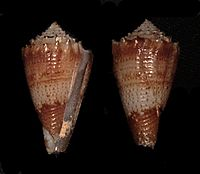 Conus chiangi 4111704891