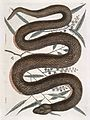 Copper-belly snake with Ilathera bark, 1731 Wellcome L0035352.jpg
