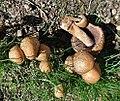 Coprinellus micaceus (32051500220).jpg
