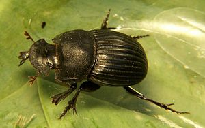 Dung beetle, Copris fricator, minor male