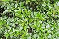 Coprosma lucida in Auckland Botanic Gardens 01.jpg