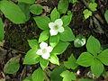 Cornus canadensis 2-eheep (5097228853).jpg