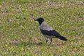 Corvus cornix - Gri leş kargası.jpg