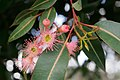 Corymbia flowers.jpg