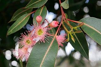 Corymbia - Image: Corymbia flowers