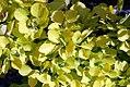 Cotinus coggygria Golden Spirit 3zz.jpg