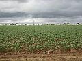 Cotton field kv49.jpg