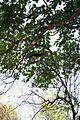 Coua cristata Ankarana 7.jpg