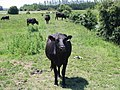 Cow on the path - geograph.org.uk - 858959.jpg