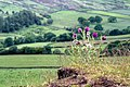 Creeping Thistle - geograph.org.uk - 847325.jpg